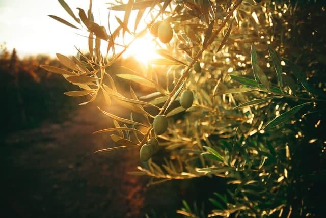 olives_oraison_provence